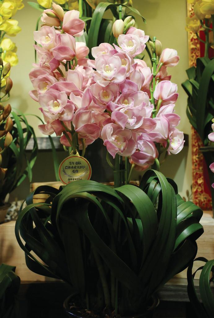 售價高達$8000的日本頂級蕙蘭「皇室花」。