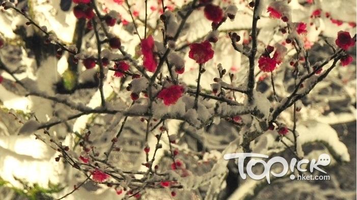 今年在三重縣名花之里賞得雪中紅梅。(馮柏偉攝)