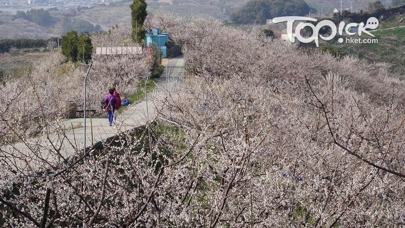 和歌山紀州有日本最大梅林,2月至3月上旬是賞花時。(經濟日報圖片)