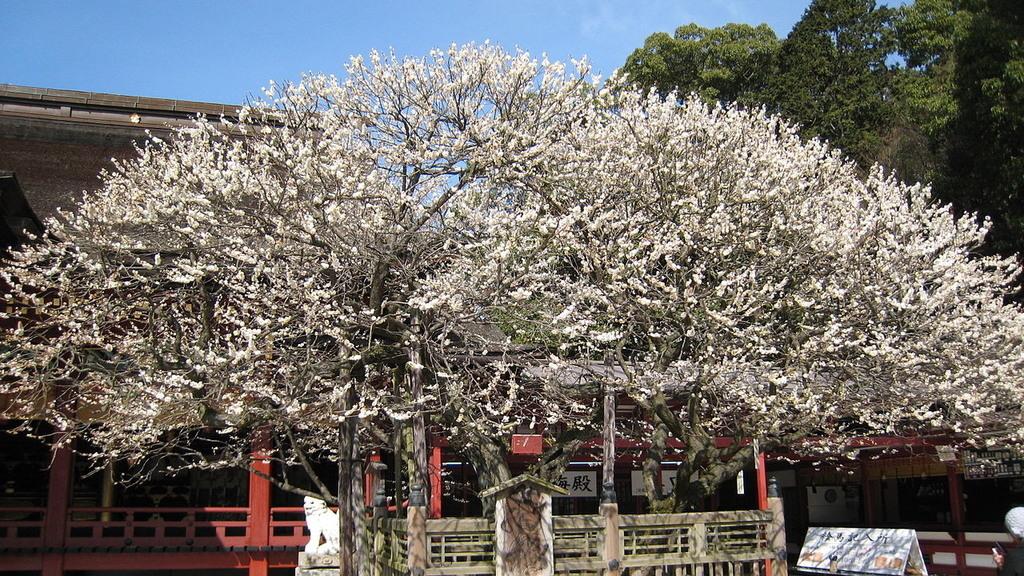 日本第一梅樹,福岡太宰府天滿宮的千歲「飛梅」,白八重梅。(九州觀光圖片)