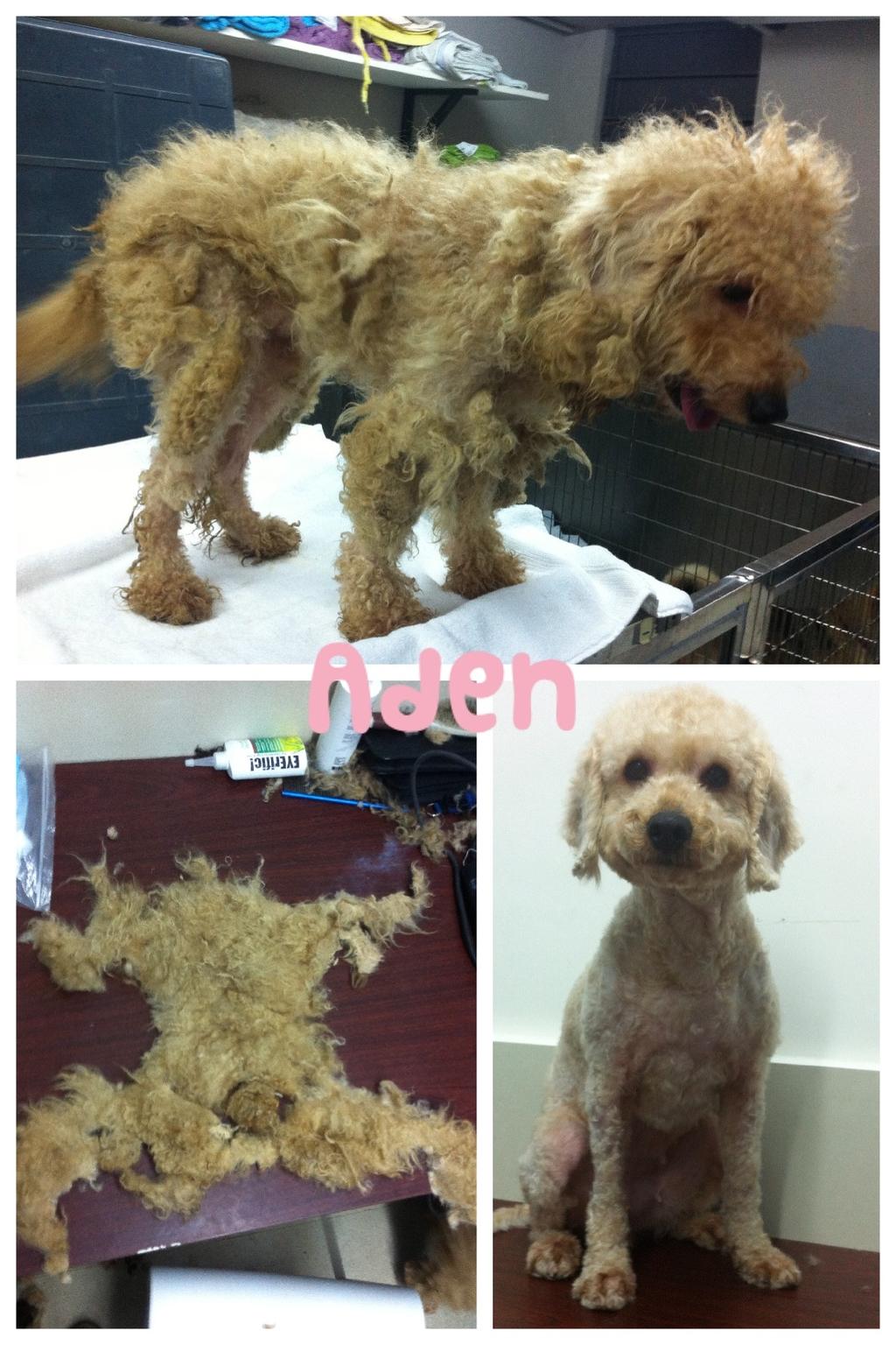 救狗之家早前亦收到繁殖場來的狗隻,圖為清潔前後的樣子(圖片由救狗之家提供)