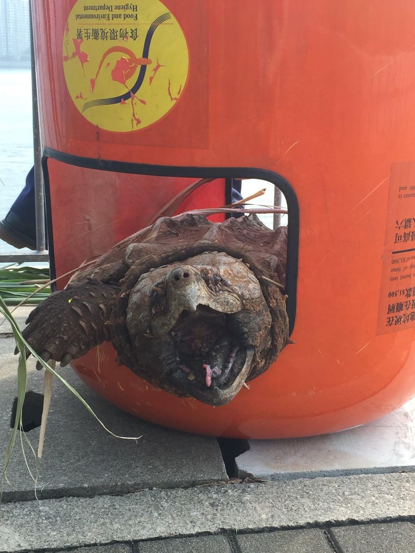 Fred指,此鱷龜身型龐大,相信是有人養,惟牠是淡水龜,不易放生。(愛協提供圖片)