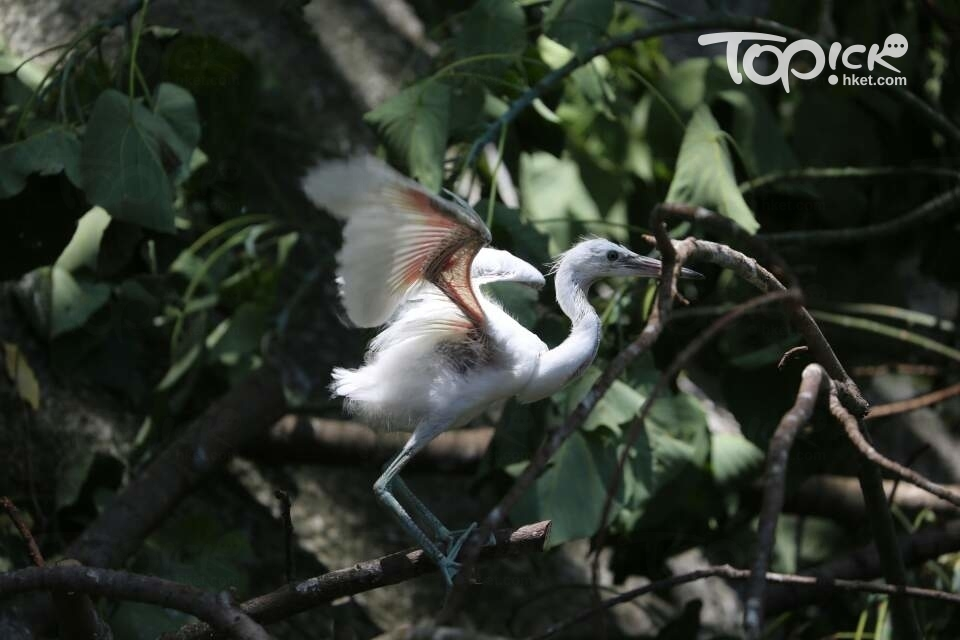 鷺鳥受到驚嚇不斷拍翼。(資料圖片)