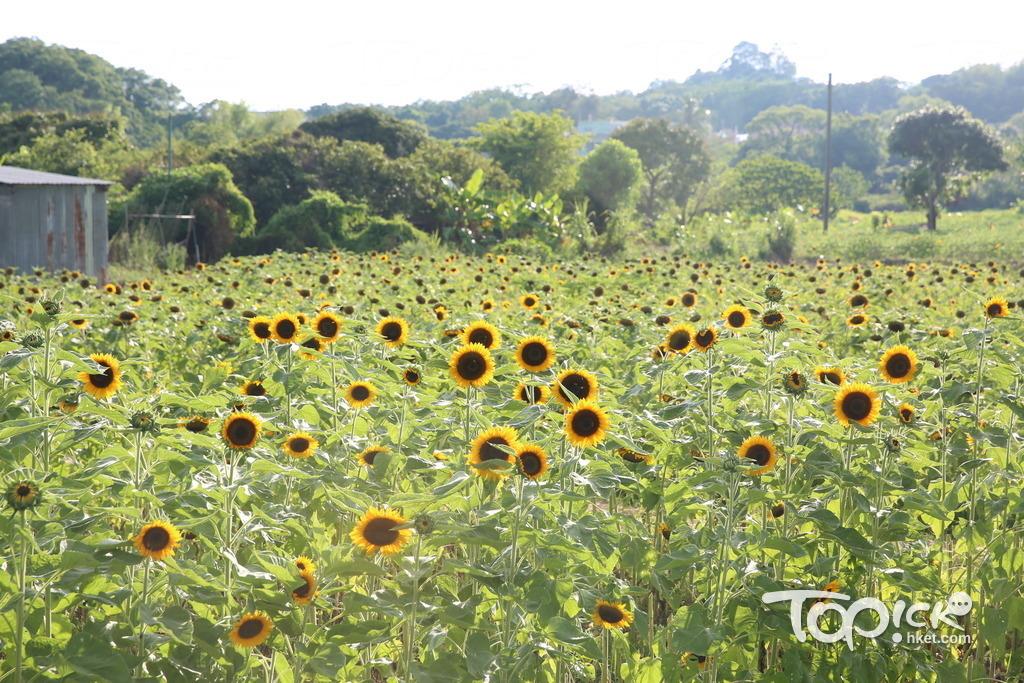 新田信芯園的8萬朵向日葵花,已有約1/4開花,料6月下旬全部開花。(黃傑偉攝)