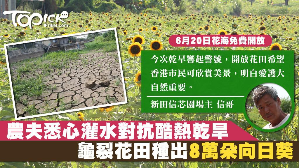向日葵無懼酷熱乾旱仍然盛放,場主信哥形容向日葵的適應力很強,如此惡劣的環境下,其他種物都種不下。